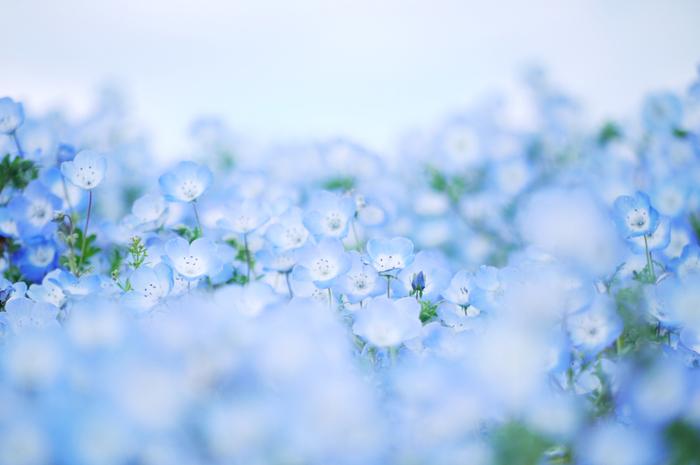 ネモフィラの花言葉は「常なる成功」です。美しい青色が魅力のネモフィラ畑を見に行ってみませんか?