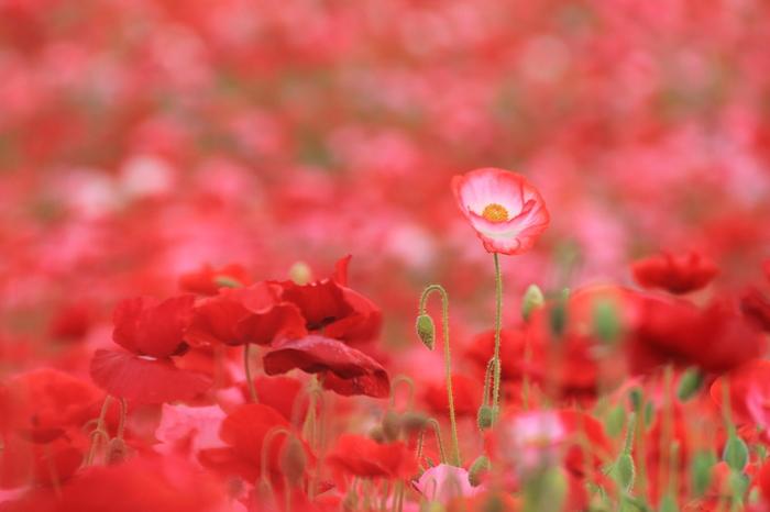 ポピーの花言葉は「恋の予感」です。恋を感じさせてくれるような華やかな色と可愛らしいシルエットが素敵。こんなにたくさんのポピーが咲いていると、とても幸せな気持ちになりますね。