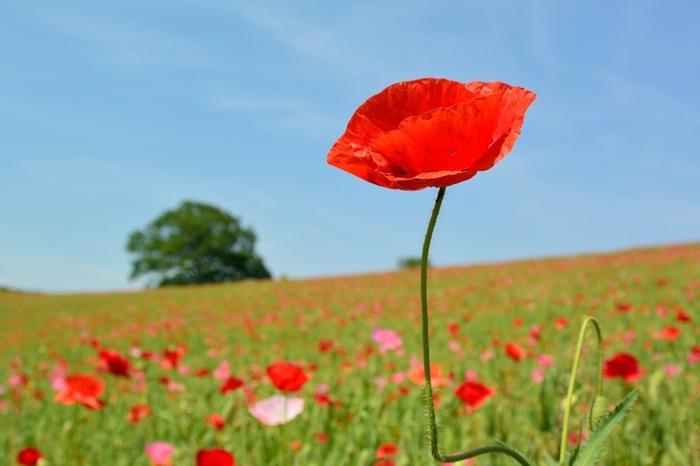 標高500メートルの高原に咲き誇る色とりどりのポピーたち。こんな花畑を大切な人と歩きたくなりませんか?