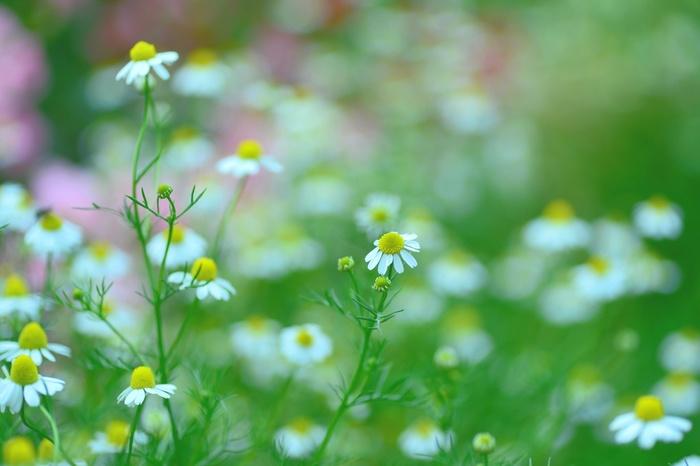 カモミールの花言葉は「逆境に耐える力」「逆光で生まれる力」です。小さくても強く咲いているカモミールらしいですね。ちなみに和名は「カミツレ」というんです。知っていましたか?