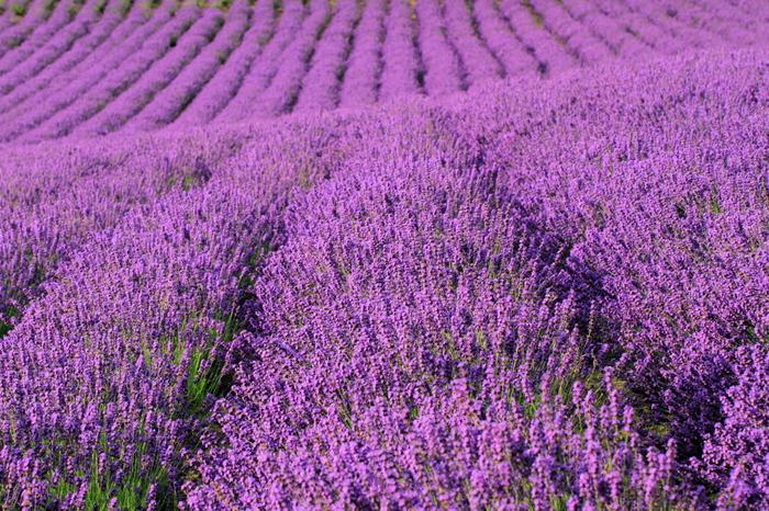 こちらは7月限定で営業される日本最大級のラベンダー畑「ラベンダーイースト」