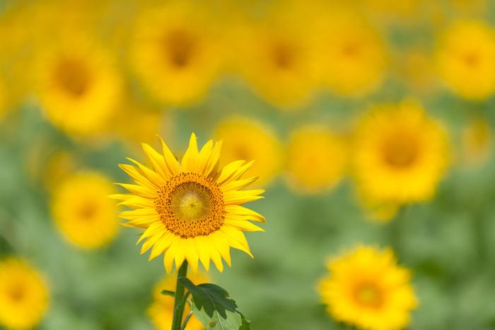 ひまわりの花言葉は「あなただけを見つめます」です。ひまわりを見ると、自然と元気が出てくるような気がするから不思議ですね。