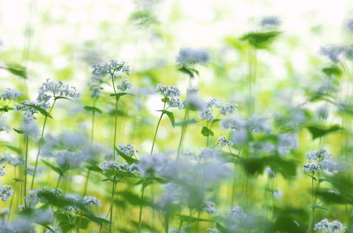 蕎麦の花って、知ってますか?こんなに可愛らしい小さな白い花を咲かせるんですね。花言葉は「懐かしい想い出」「あなたを救う」です。