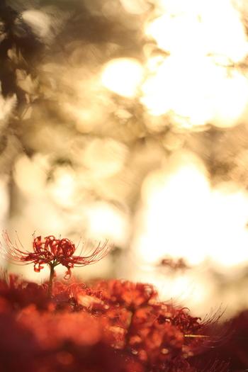 彼岸花の花言葉は「悲しき思い出」「情熱」「独立」などです。群生している様子をどこかで見た覚えがありませんか?