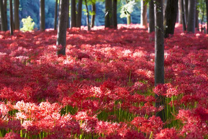こんなにたくさんの彼岸花が群生している様を見たことがありますか?一面真っ赤な世界です。どこか絵本の中のような幻想的な世界ですね。
