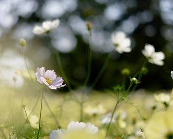 秋の訪れを感じさせてくれるコスモスの花言葉は「乙女の愛情」です。儚く揺れる姿に良く合っていますね。