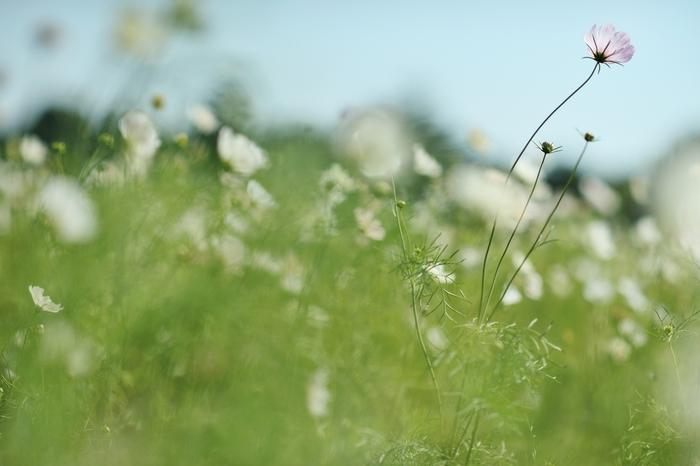 丘いっぱいにコスモスの咲く景色は、一度見たら忘れられないような、そんな素敵な景色です。風になびく様子が儚げで優しい気がします。