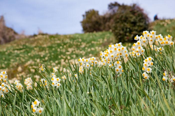 丘いっぱいに咲き誇る水仙。青い空とのコントラストが美しいですね。