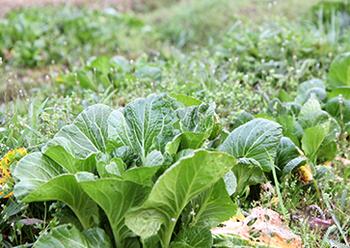 若手の農業従事者をサポートするのに加えて「坂ノ途中」自社でも農場経営をしています。京都の山あいにある「やまのあいだファーム」は、耕さず農薬や化学肥料も使用しない、とても自然に近い農業の実践の場。力強い味わいの野菜が育っています。