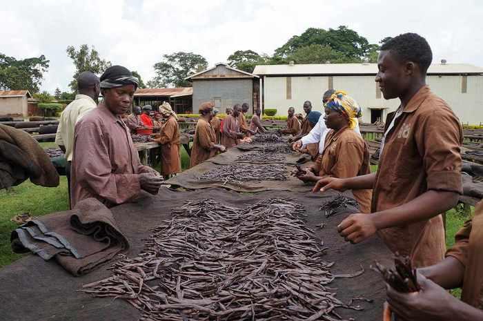 バニラビーンズを製造している様子。収穫から乾燥まで時間と労力の掛かる仕事です。