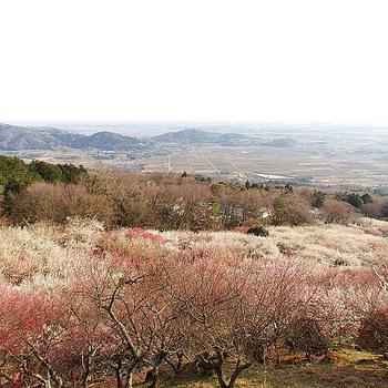 筑波山中にある筑波山梅林では、約30種類、1000本もの梅を見ることができます。