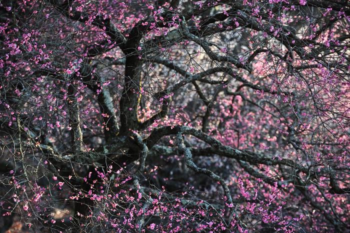 近くに寄ると漂ってくる甘い香りをかぐと「ああ、もうすぐ春だな」と感じて、なんだか幸せな気持ちになりますよね。今回は、訪れるだけで幸せな気持ちになれる、美しい梅の名所をご紹介していきます。そろそろ見ごろの季節。今度の休日のお出かけ先にいかがでしょうか?