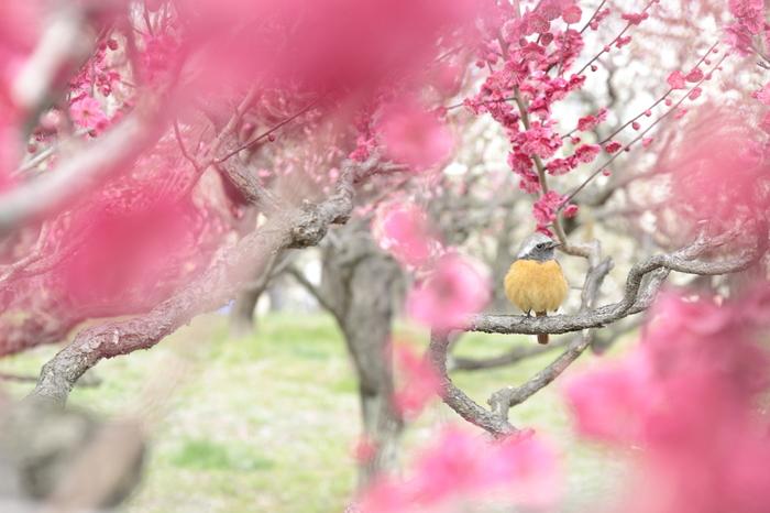 花の蜜を吸う為に、鳥たちも集まってきます。春を感じさせる風景に顔がほころびますね。