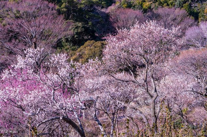 日本一早く梅が咲くと言われている熱海梅園。時期が良ければ梅と桜が咲き乱れる光景を見ることができます。