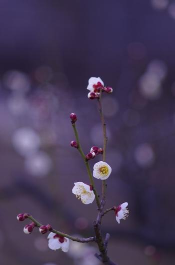 丸い花びらが可愛らしい梅の花。蕾もまんまるで可愛いですね。