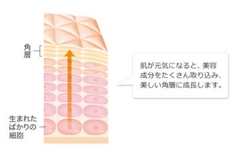 角層の元となるのは、毎日生まれている「肌細胞」。この細胞を、生まれた瞬間から元気にし、必要な美容成分をぐんぐん吸収し、自然に美しい角層が育っていくんです。