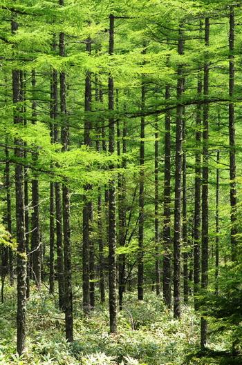 八千穂高原周辺を走るメルヘン街道には、白樺林だけでなく、美しいカラマツ林が広がります。森の香りを感じながらドライブしたら、とっても癒されそう。
