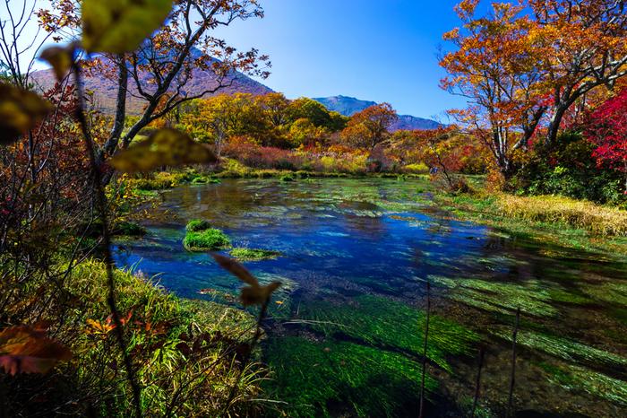 沼と行っても、底が透けて見えるほどの透明度の高い清流で満たされた水辺です。ここは八甲田の雪解け水が地面に染み込み、再び地表に沸き出している場所。あたりは澄み切った空気に満たされています。ミズバショウやレンゲツツジ、モウセンゴケといった数多くの植物が水辺を鮮やかに彩ります。