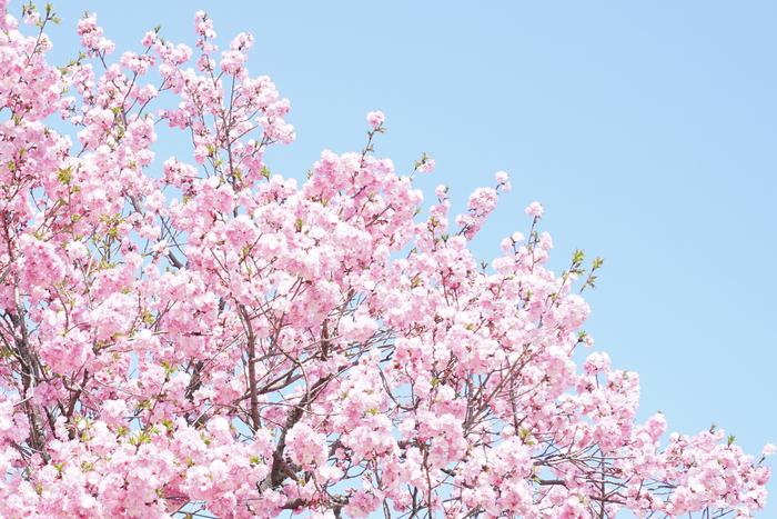 3月に入り、桜の開花予想のニュースが聞こえてくると「そろそろお花見の計画を立てなくちゃ♪」とウキウキしてきますよね♪ 2016年の今年は、平年並みよりやや早めの開花になるそうです。 学生時代や若い頃のお花見は、みんなでワイワイしながら食べて飲んで…と楽しい思い出がたくさんあったかと思いますが、そんな青春時代から少し年を重ねて落ち着いた今だからできる、こだわりのアイテムを持ち寄ってワンランク上のおしゃれなお花見を開いてみませんか?