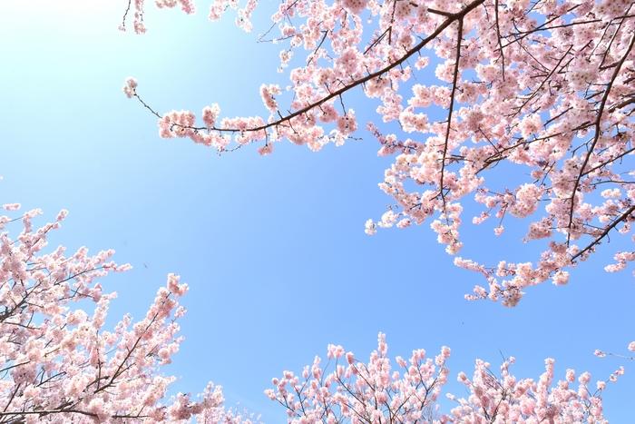 今回は、いつもよりワンランク上の大人のお花見を楽しむためのこだわりのアイテムをご紹介しました。 桜がつぼみから少しずつ花が開き、満開になっていく美しい桜の姿には、毎年ワクワクさせられますよね。今年の桜も、きっと美しく咲いてくれるのでしょうね♪ 春はすぐそこ。今年のお花見は、どなたと、どんな桜を見に行きますか?