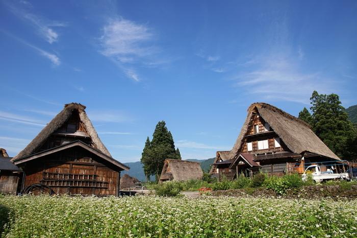 相倉合掌造り集落内では、私たちが思い描く日本の里山の風景がそのまま広がっています。抜けるような青空、一面に咲き誇る蕎麦の花畑、合掌造りの家々は古き良き時代の日本の原風景を今に伝えてくれます。