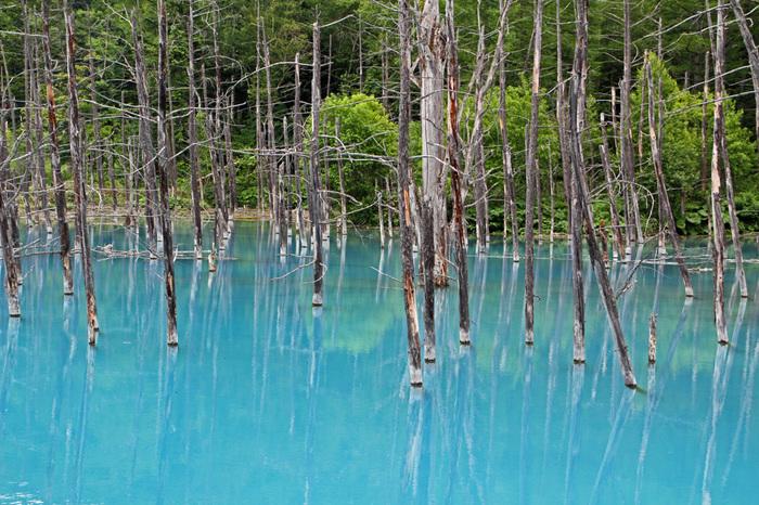 白金温泉から2.5キロメートル離れた場所には、湖面がコバルトブルーに輝く青い池があります。青い池は、もともとは十勝岳が噴火したときの火山泥流を防ぐための堰堤として作られた人造池です。しかしながら、コバルトブルーに輝く水面と、立ち枯れとなった白樺やカラマツの木が織りなす幻想的な雰囲気を持つ青い池は、人工物と思えないほど美しく、神秘ささえも感じます。
