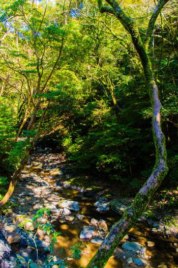 豊かな大自然が広がる明治の森箕面国定公園では、四季折々の風情を感じ取ることができます。新緑に包まれる春は桜の名所となり、夏は深緑の森と箕面川のせせらぎが暑い大阪の夏に涼をもたらしてくれます。