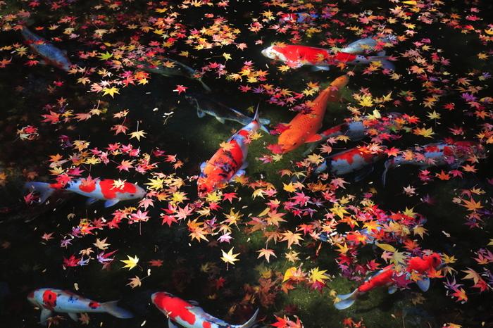 弁天池では、色鮮やかな錦鯉が優雅に泳いでいます。秋になると、弁天池には紅く色づいた紅葉の葉が散りばめられ、錦鯉の美しさを引き立てています。