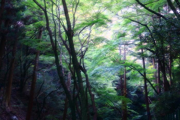 標高100メートルから600メートルのなだらかな北摂山間部に位置する明治の森箕面国定公園は、963ヘクタールの広大な敷地を誇る公園です。西日本における経済の中心地、大阪市の近郊でありながら、明治の森箕面国定公園には豊かな自然が広がっています。公園内は、1300種類の植物、3500種類の昆虫、野鳥や哺乳類の宝庫となっています。