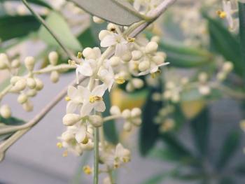 初夏(5月~6月)頃には、白い小さな花を咲かせてくれます。無数の花が咲いたオリーブの木の下には、白いお花の絨毯が広がりますよ!ちなみに、花言葉は「平和」「知恵」などです。