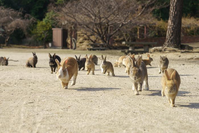 竹原市忠海港からフェリーに乗って約10分。大久野島に到着すると、たくさんのうさぎたちが私たち観光客を迎えてくれます。大久野島で生息しているうさぎ達は、1971年に8羽のうさぎが大久野島に放されて野生化したものです。
