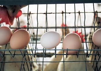 卵は、淡路島の「北坂養鶏場」から。祖先が全て日本の鳥、つまり純国産鳥の卵。日本の風土の中で自然に生き残り育ってきたもの。できるだけ新鮮なかたちで提供したいから、朝採れ直送の卵を使っています。