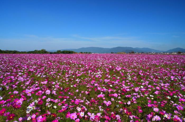 秋になると藤原宮跡は、一面のコスモス畑となります。抜けるような青空の下、ピンク色のコスモスが一面に咲き誇る様は、絵画のような素晴らしさです。