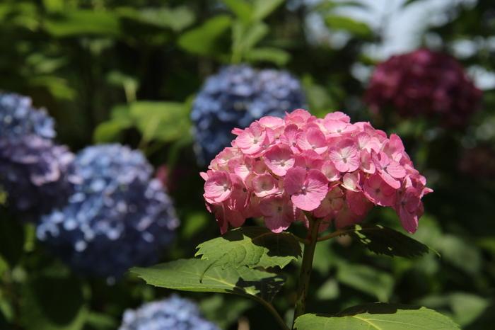 花の寺としても有名な久米寺境内には、キヤナギ、ツツジ、アジサイをはじめとする美しい花々が植えられています。特に梅雨の時期になると、境内いっぱいにアジサイの花が咲き誇り、その美しさは参拝者を魅了してやみません。