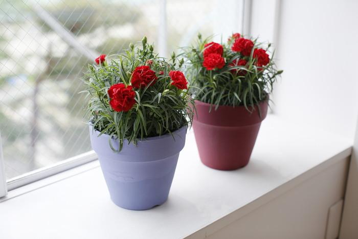 ■【母の日限定】Pot Flower カーネーション  鉢植えは切り花よりも長く持ち、お手入れ次第で翌年以降も花を咲かせることから、ブーケと並び人気の贈り物です。 厳選したカーネーションをシンプルに楽しめるPot Flowerは、ぬくもりあるオリジナルの鉢を使用しています。  画像の鉢は[Ruby(赤)]サイズとなり、[Lavendar(ラベンダー)]もご用意しています。