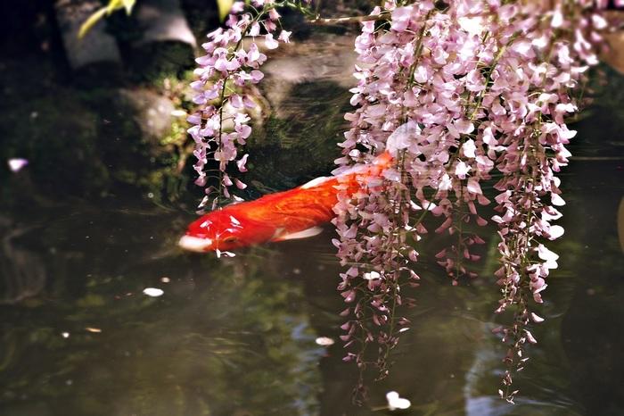 可憐な紫色をした藤の花が咲き乱れる中、美しい錦鯉が優雅に泳いでゆく様は、まるで浮世絵のようです。