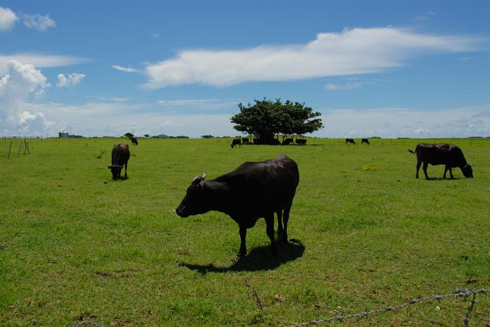 人口約200人の、の~んびりした黒島には、広大な牧草地&牛たちがたくさん。南の島にいながら、どこか北海道の風景にも似ているような。島の形がハート型なのも、キュート!