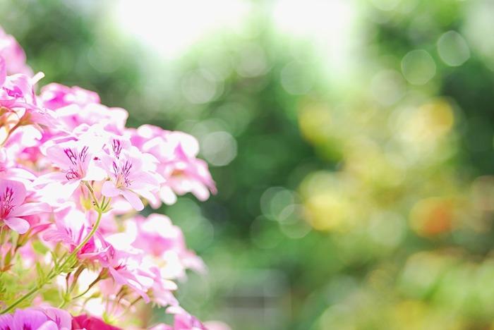 フローラルな甘い香りの中に、爽やかなミントのような香りが混じるゼラニウム。華やかな気分にさせてくれそう。