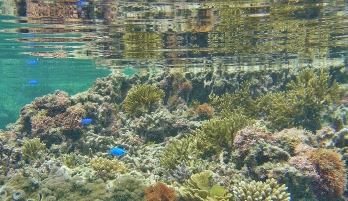 海岸からわずか5メートルほど沖に歩いて行くと、すぐ目の前にサンゴ礁が迫っています。まるで海の中にある森のようなサンゴ礁、その中を自由に泳ぎ回る熱帯魚達……。吉野海岸の中は、天然の水族館のようです。