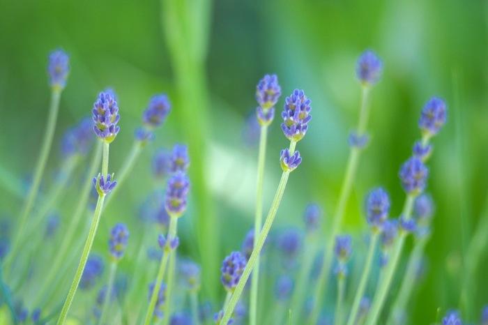 リラックス効果の高いラベンダーの香りは人気の香りです。甘い香りで鎮静効果や安眠作用が期待できます。