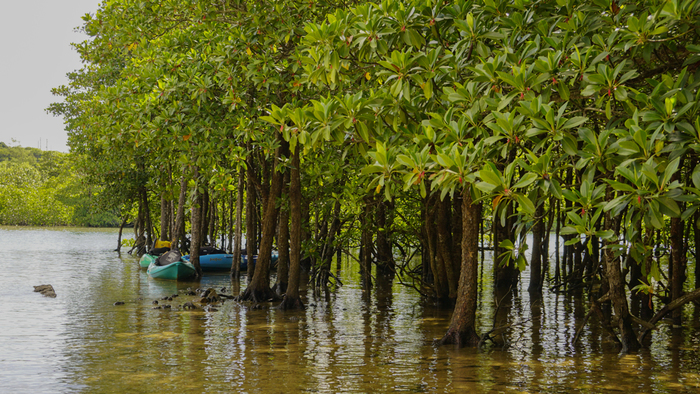 河口付近に群生するマングローブはヒルギ科の植物が多いことから「宮良川のヒルギ林」と呼ばれています。国の天然記念物にも指定されているヒルギ林では、亜熱帯地方特有の光景が広がっています。