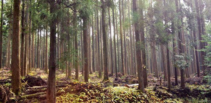 「キシル」は日本の木を使うことをモットーとしています。荒れた森林を元気にするために、適度に木を伐り家具作りに生かすことで森の活性化を促しています。