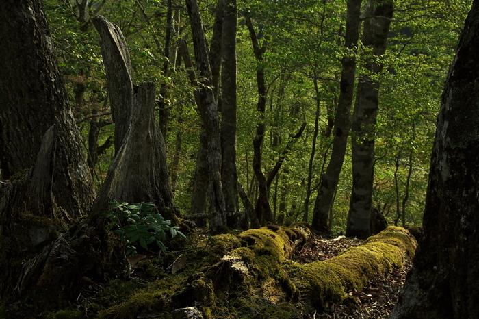 """大台ケ原では、""""森が再生している様子""""を見かけることができます。天寿を全うし土に返りゆく倒木、倒木を覆う苔、その脇から顔を覗かせる幼木……。太古から繰り返し行われていた、""""森の再生""""が今ここで行われています。"""
