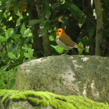 大台ケ原は、コマドリ、オオルリ、コノハズクといった野鳥の宝庫でもあります。小鳥のさえずり声に耳を傾けながら散策を楽しんでみてはいかがでしょうか。