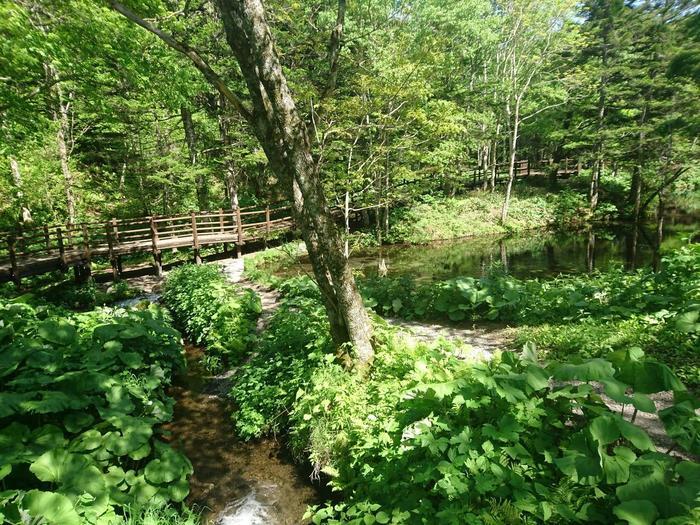 ここは、神の子池の入り口。この辺りを流れる水は澄んでいますが、ブルーではありません。 緑に囲まれた道を進んでいくとこの奥に本当に透明で綺麗なブルーの小さな池があります。この池はアイヌの言葉でカムイト(=神の湖)と言われる、摩周湖の伏流水からできていると言われています。