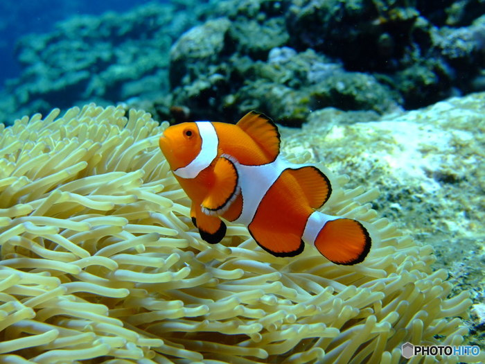 こちらは、カクレクマノミ。オレンジ色の色合いに3本の白いラインが入っているのが特徴です。かわいらしい見た目と同じく、性格も穏やかで優しいそうですよ。