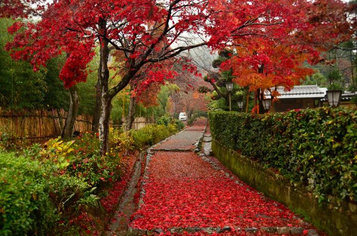 秋になると、嵯峨小倉陵参道の樹々が見事に紅葉します。樹から舞い落ちた深紅の葉が参道を覆い尽くし、参道は、ルビーを敷き詰めたかのような美しさです。