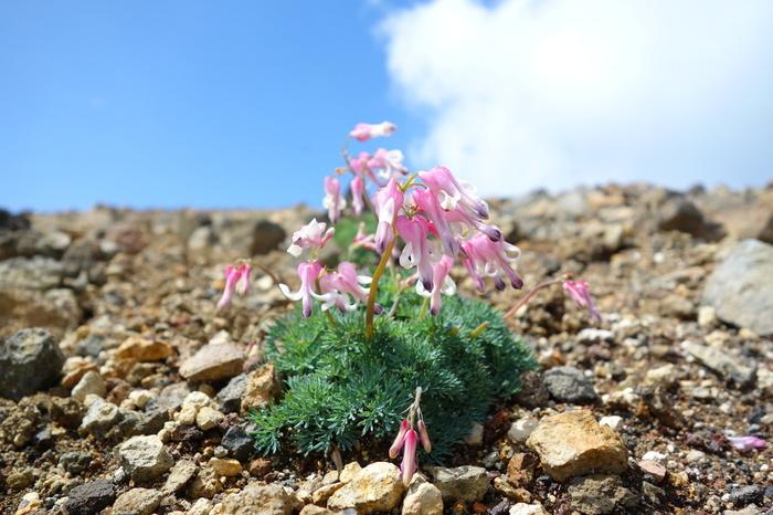 標高が高い御釜周辺では、「高山植物の女王」と呼ばれる可憐な高山植物、コマクサの姿を見かけることができます。