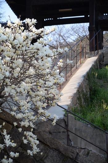 宝土寺は、境内からは向島が望め、散策休憩するのにちょうど良いお寺です。 春と秋には、境内で「おのみち手しごと市」が開催されますので、興味ある人は忘れずに。 【画像は、参道に咲く春の訪れを告げるハクモクレンと、宝土寺の山門。】