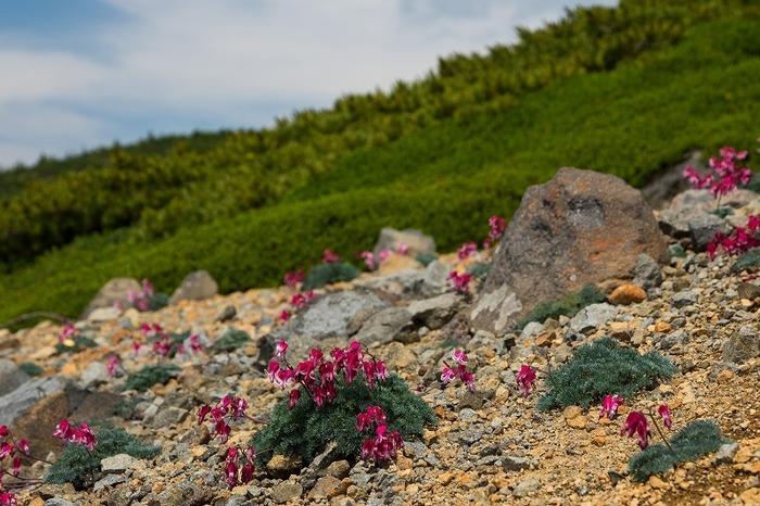 白根火山ロープウェイの山頂付近を散策してみましょう。「高山植物の女王」と異名を持つ可憐なコマクサが群生しており白根山の美しさを引き立てています。